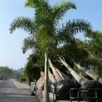 Foxtail Palm, Single