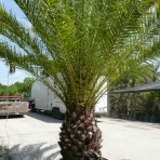 Canary Island Date (Pineapple Palm)